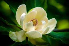 Magnolienblume Lizenzfreies Stockfoto