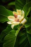 Magnolienblume Lizenzfreies Stockbild