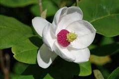 Magnolienblume im Abschluss herauf Ansicht Lizenzfreies Stockbild