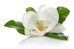 Magnolienblume mit Blättern auf weißem Hintergrund lizenzfreie stockfotos