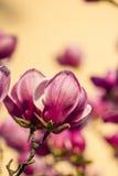 Magnolienblumen Stockfoto