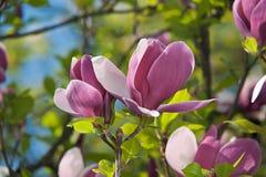 Magnolienblumen, auf einem grünen Hintergrund Stockfotografie