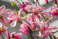 Magnolienblumen auf Niederlassung Stockfotos