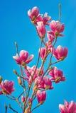 Magnolienblumen gegen den Himmel Lizenzfreies Stockfoto