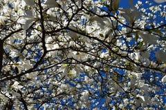 Magnolienblumen im blauen Himmel Lizenzfreies Stockbild