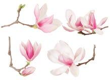 Magnolienblumen-Zweigfrühjahrskollektion Lizenzfreies Stockbild