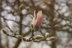 Magnolienblumenblühen stockbild