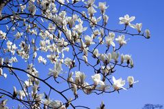 Magnolienblumenweiß Stockfotografie