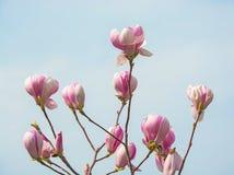 Magnolienknospen Niederlassungen einer Magnolie Stockbilder