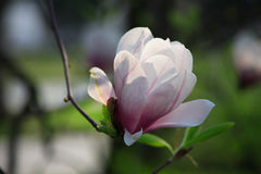 Magnoliennahaufnahme lizenzfreie stockfotografie