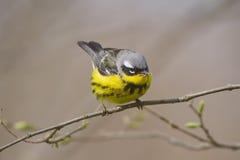 Magnolienträllerer, der auf einem Baumast während der jährlichen Frühlingsvogelmigration sitzt Stockfotos