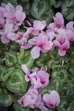 Magnolii menchia kwitnie zakończenie Obraz Royalty Free