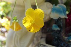 Magnoliophyta giallo fotografia stock libera da diritti
