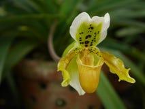 Magnoliophyta jaune d'orchidée Images libres de droits