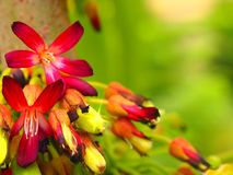 Magnoliopsida Oxalidaceae Averrhoa kwiaty Fotografia Royalty Free