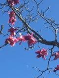 Magnolior i deras skönhet fotografering för bildbyråer