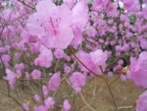 Magnolior på våren Arkivfoton