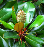 Magnoliowa Grandiflora owoc Obrazy Stock