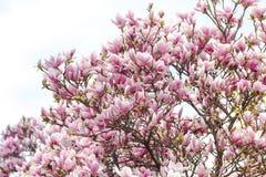 Magnoliowa roślina z purpurami kwitnie na pogodnym wiosna dniu Fotografia Royalty Free
