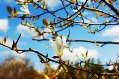 Magnoliowego kobus Biali kwiaty Obrazy Stock