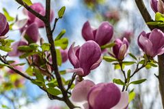 Magnoliowego Soulangeana «Lombardy róża na rozmytym niebieskiego nieba tle zdjęcia stock
