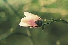 Magnoliowi biali kwiaty obraz royalty free