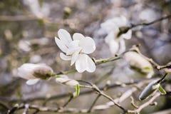 Magnoliowi biali kwiaty fotografia stock