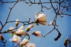Magnoliowi biali kwiaty zdjęcie stock