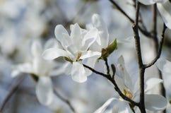 Magnoliowi biali kwiaty zdjęcia stock