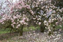 Magnoliowi drzew okwitnięcia Zdjęcia Royalty Free