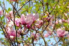 Magnoliowi drzewo kwiaty Obrazy Stock