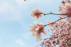 Magnoliowi kwiaty Zdjęcie Royalty Free