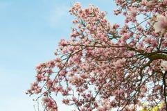 Magnoliowi kwiaty Obraz Royalty Free