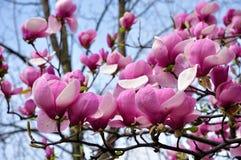 Magnoliowi kwiaty Zdjęcie Stock