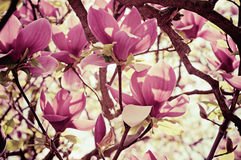 Magnoliowi kwiaty obrazy stock