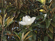 Magnoliowi kwiaty w ogródzie przy Monticello ` s domem w Richmend Virginia obrazy royalty free