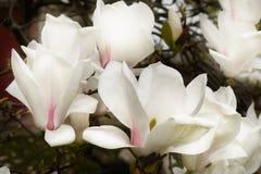 Magnoliowi okwitnięcia Obraz Royalty Free