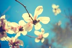 magnoliowi piękni kwiaty Selekcyjna ostrość Obrazy Royalty Free