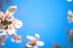 magnoliowi piękni kwiaty Selekcyjna ostrość Obrazy Stock