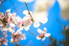 magnoliowi piękni kwiaty Selekcyjna ostrość Fotografia Stock