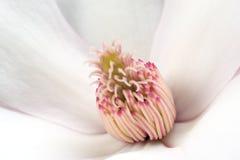 magnoliowi stamens Obrazy Royalty Free