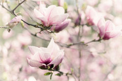 Magnoliowi wiosna kwiaty fotografia stock