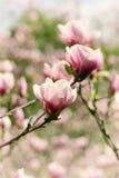 Magnoliowi wiosna kwiaty obraz stock