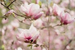 Magnoliowi wiosna kwiaty zdjęcie royalty free