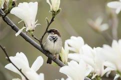 Magnoliowi wiosna kwiaty obrazy royalty free
