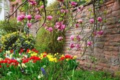 Magnoliowy drzewny dorośnięcie blisko kamiennej ściany nad flowerbed w miasto ogródzie Obrazy Stock