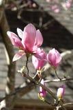 Magnoliowy Drzewny kwiat Zdjęcia Royalty Free