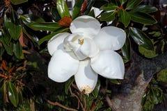 Magnoliowy Drzewny kwiat Obraz Royalty Free