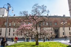 Magnoliowy drzewny okwitnięcie w Mediolan, Włochy fotografia stock