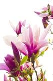 magnoliowy drzewo Fotografia Stock